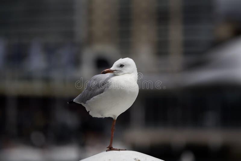 Em Austrália, o pássaro que levanta na lente está dançando em um único pé foto de stock royalty free