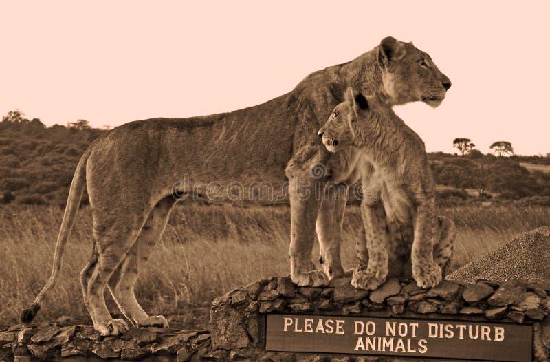 Em da leoa e do filhote \ imagem de stock