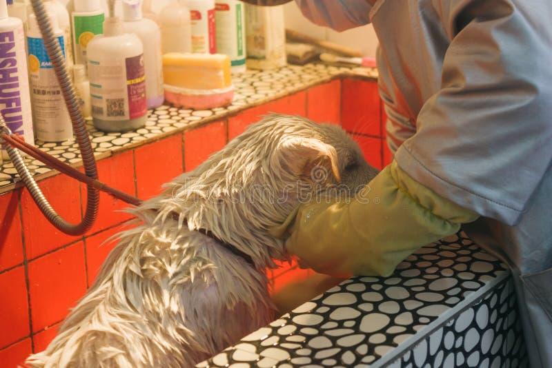 24, em dezembro de 2015, China, Chongqi ajuda do veterinário que toma o chuveiro para um cão disperso branco triste da rua foto de stock royalty free