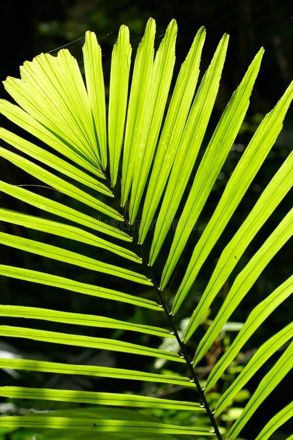 Em folha de palmeira backlit com luz solar imagem de stock