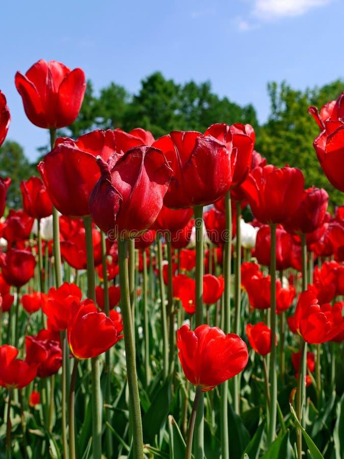Em hastes verdes delgadas as tulipas vermelhas bonitas são um presente excelente para seu amado imagens de stock royalty free