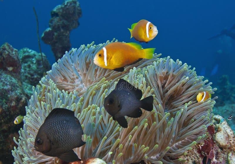 Em Maldivas, as criaturas subaquáticas, peixes coloridos dançam com harmonia fotografia de stock royalty free