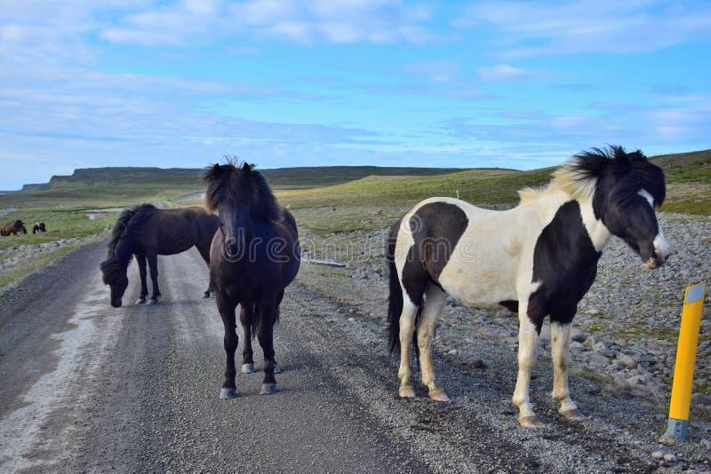 Em partes remotas de Islândia você pode esperar cavalos de corrida livres, mesmo na estrada do cascalho O norte da península Skag imagens de stock