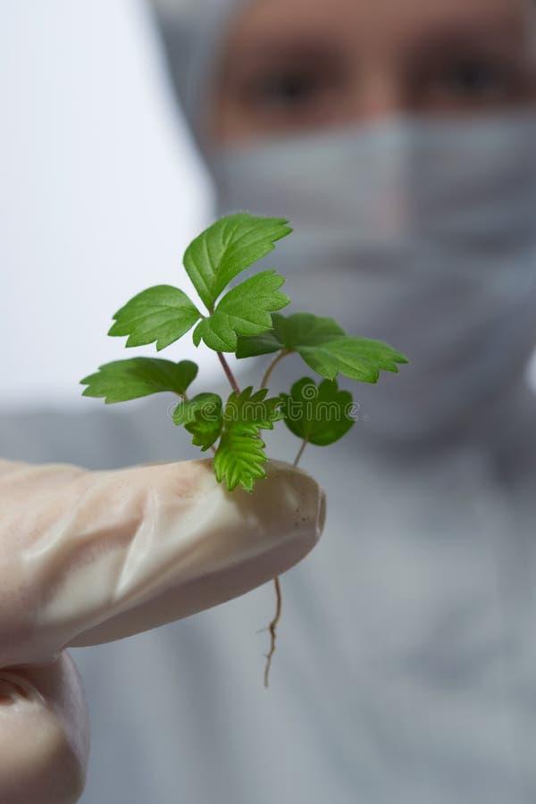 em sua mão pouco broto com folhas verdes imagem de stock royalty free