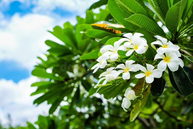 Em um bom dia, no Frangipani bonito, no templo ou no Gra do Plumeria foto de stock