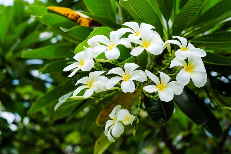 Em um bom dia, o Frangipani bonito do Plumeria fotos de stock