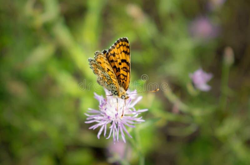 Em um dia de verão morno, uma borboleta recolhe o néctar de uma flor cor-de-rosa imagem de stock