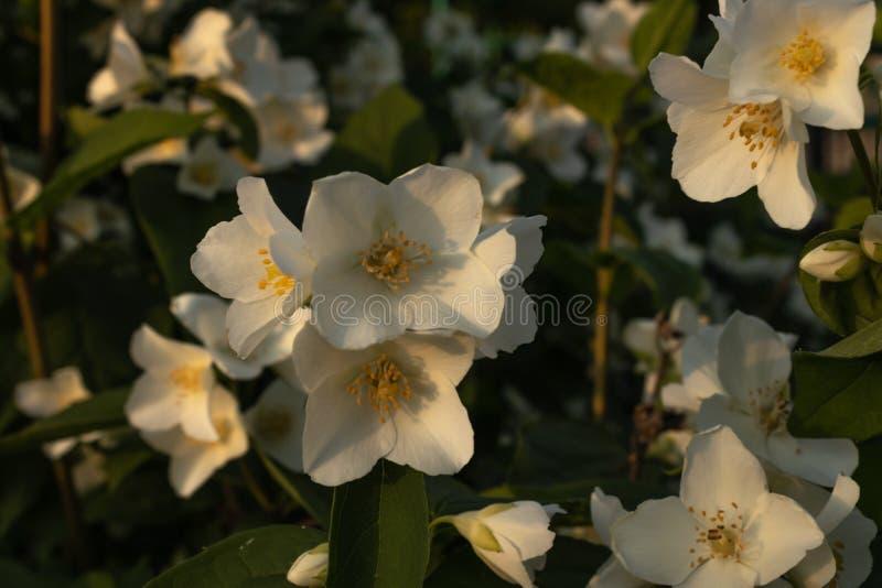 Em um ramo verde são as grandes flores brancas do jasmim em um canteiro de flores da casa nos raios do sol de ajuste fotografia de stock royalty free