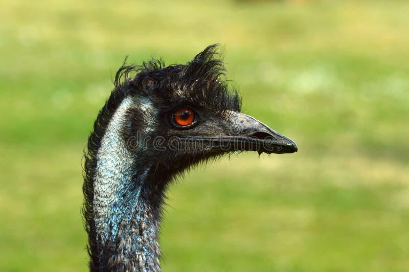 Ema da avestruz fotos de stock royalty free