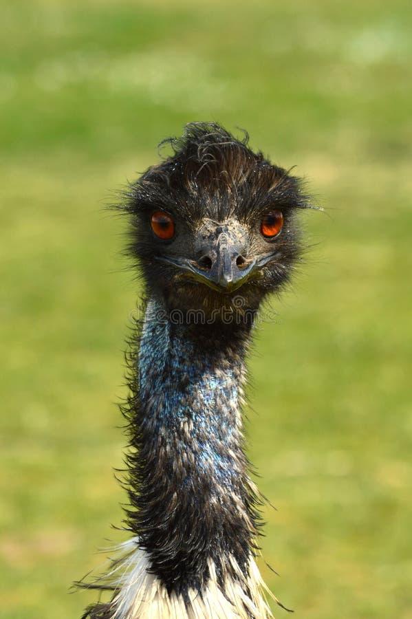Ema da avestruz fotos de stock