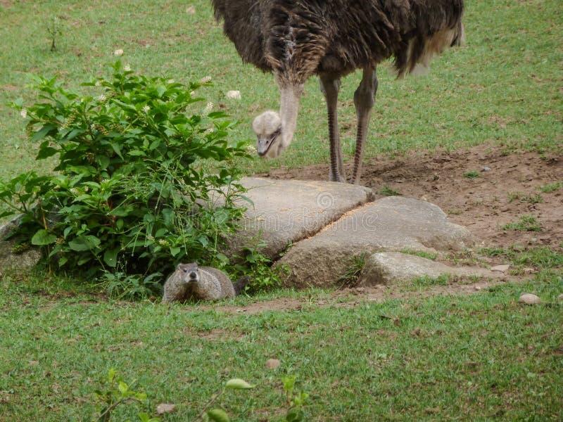 Ema que sneaking acima no groundhog fotografia de stock