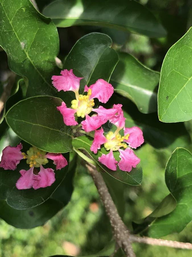 Emarginata de la Malpighia o cereza del Acerola o de Barbados imagenes de archivo