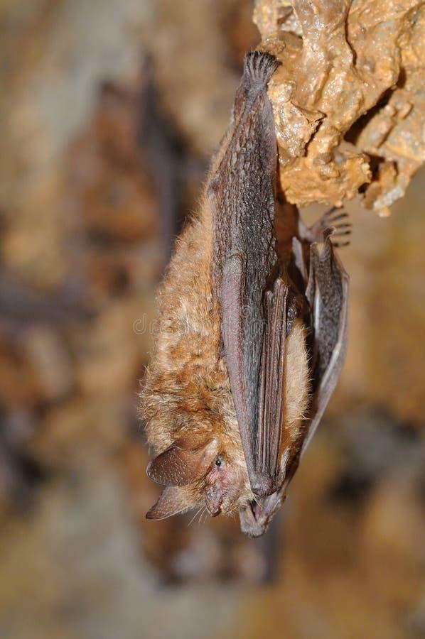 Emarginatus del Myotis del palo del ` s de Geoffroy imagenes de archivo