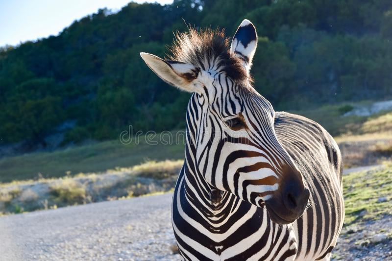 Embaixador da zebra: Perfil bonito da zebra do ` s de Hartman em Rim Wildlife Center fóssil em Glen Rose, Texas foto de stock royalty free