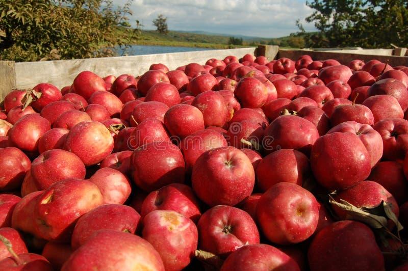 Embalaje de manzanas foto de archivo