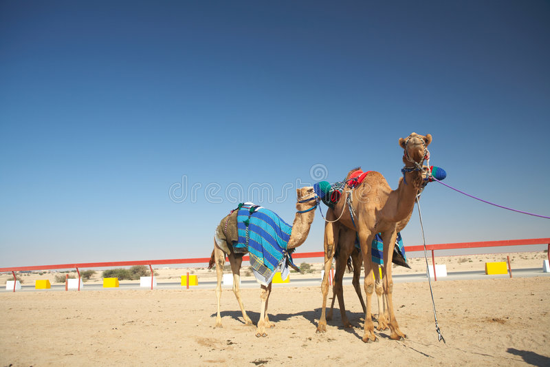 Emballage de chameau de robot photo stock
