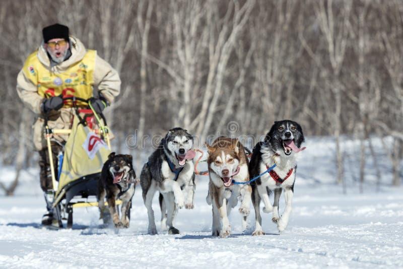 Emballage de chien de traîneau du Kamtchatka Beringia, tasse russe de disciplines de neige de course de chien de traîneau photos libres de droits