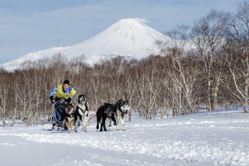 Emballage de chien de traîneau du Kamtchatka Beringia, tasse russe de disciplines de neige d'emballage de chien de traîneau images stock