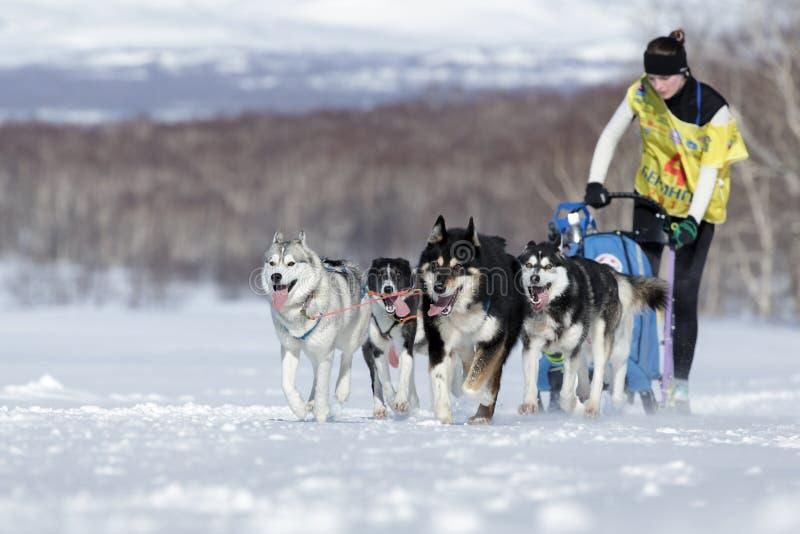 Emballage de chien de traîneau du Kamtchatka Beringia, tasse russe de disciplines de neige d'emballage de chien de traîneau image stock