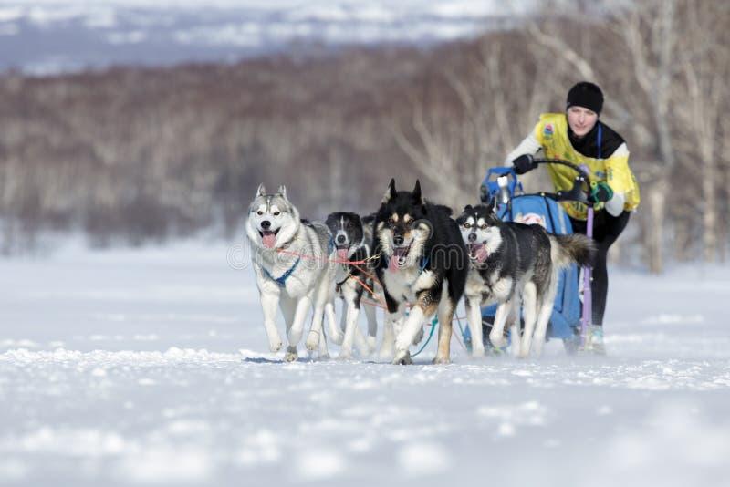 Emballage de chien de traîneau du Kamtchatka Beringia, tasse russe de disciplines de neige d'emballage de chien de traîneau photos libres de droits