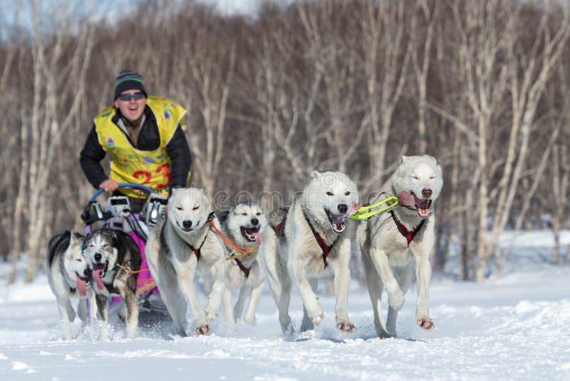 Emballage de chien de traîneau du Kamtchatka Beringiya, tasse russe de disciplines de neige de traîneau de chien image libre de droits
