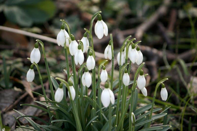 Emballez ou groupe de peu de fleurs de snowbell fleurissant vers le haut du galathus n photo stock