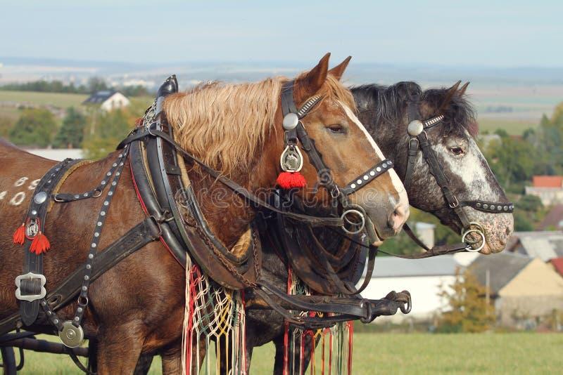 Embellecido por dos caballos foto de archivo