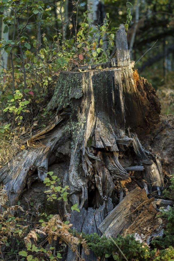 Embellissez le tronçon d'arbre envahi dans la maison de lutin de forêt images stock