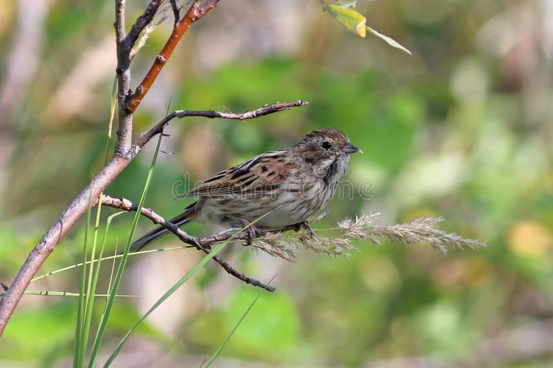 Emberiza schoeniclus. Reed oatmeal sitting on a branch with food. Emberiza schoeniclus. Reed Bunting at the end of summer on the Yamal Peninsula royalty free stock photography