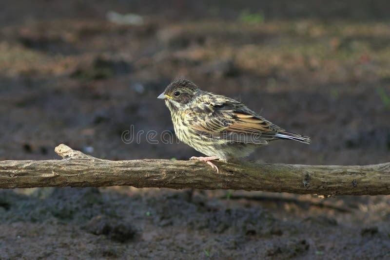 Emberizaschoeniclus Ungt nordligt Reed Bunting sammanträde på ett s fotografering för bildbyråer