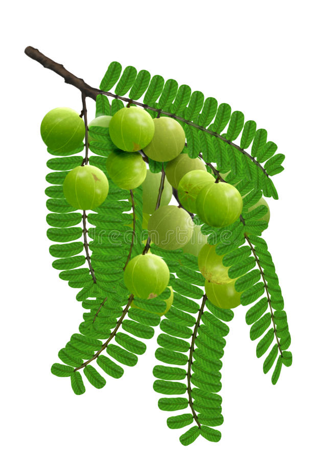 Emblic leafflower fruit royalty-vrije stock afbeelding