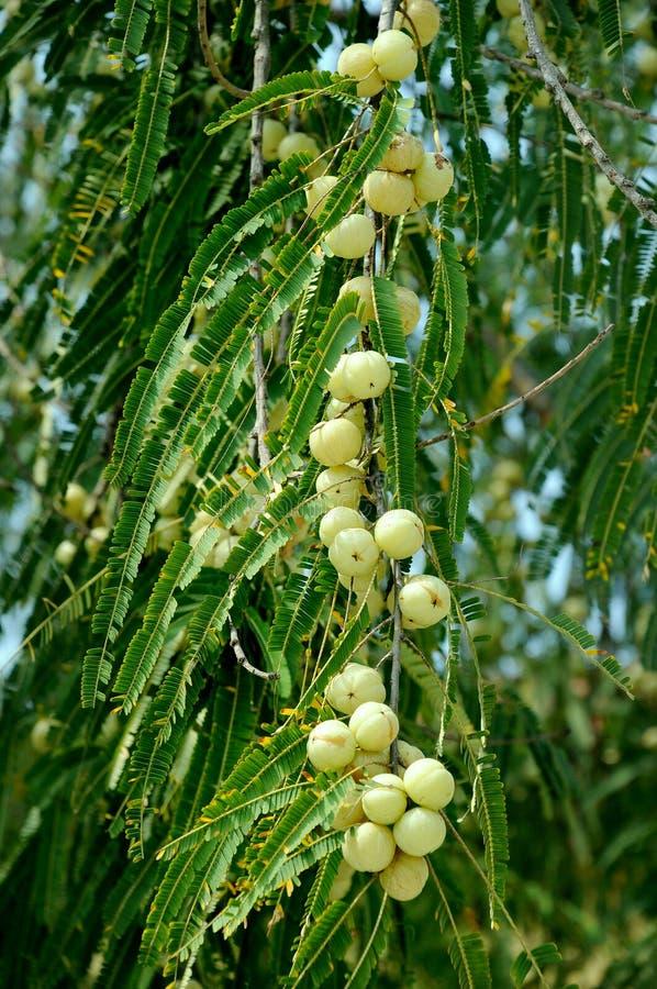 emblica phyllanthus fotografia stock