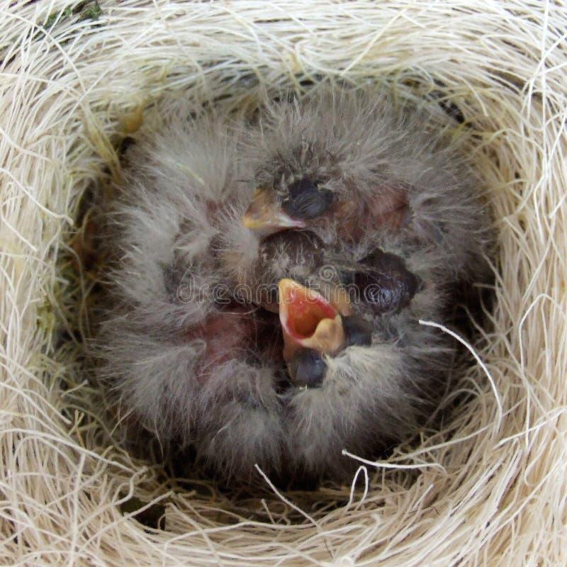 Emboîtement d'oiseaux image stock