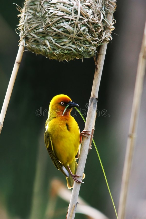 Emboîtement de construction d'oiseau de tisserand image libre de droits