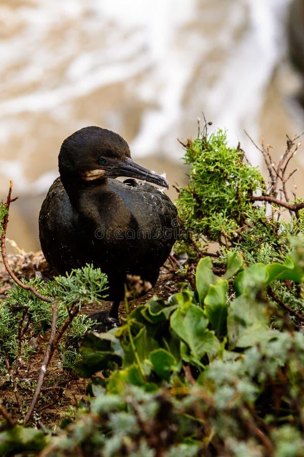 Emboîtement de cormoran du ` s de Brandt photo stock
