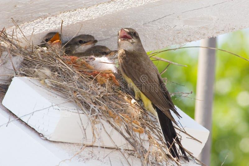 Emboîtement de kingbird occidental photos libres de droits