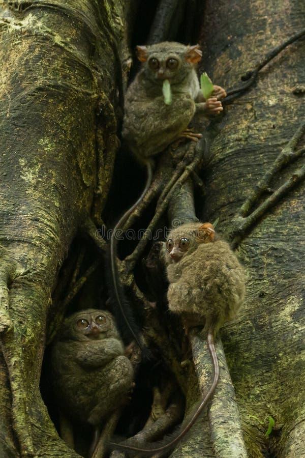 Emboîtement tarsier de famille de Tarsius de Tarsiers dans un arbre en parc national de Tangkoko, Sulawesi du nord, Indonésie photo libre de droits