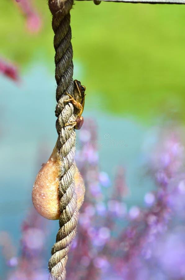 Emboîtements de grenouille et de mousse d'arbre sur une corde image stock