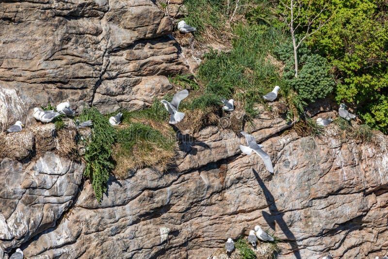 Embo?tement de mouette dans des ?les de Lofoten, Norv?ge photos stock