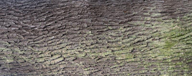 Embossed tekstura barkentyna d?b zdjęcie royalty free