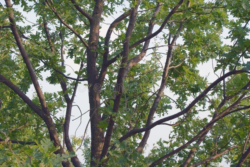 Embranchement du chêne vert photo libre de droits