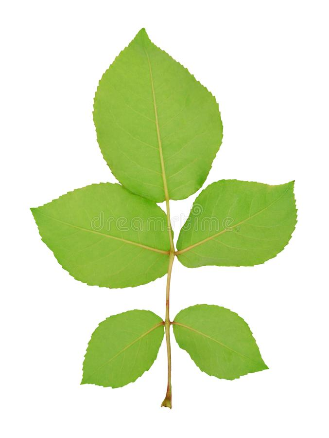 Embranchez-vous avec cinq feuilles vertes photographie stock