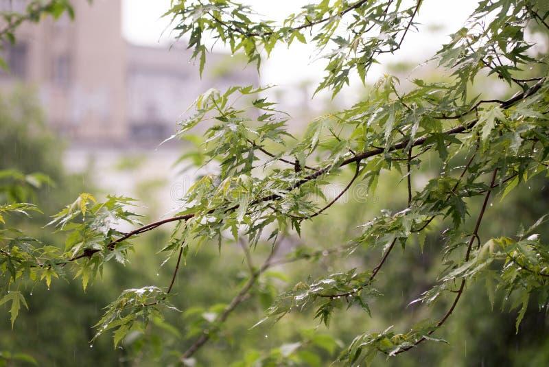 Embranchez-vous avec de jeunes feuilles pendant la pluie de ressort lourde images stock