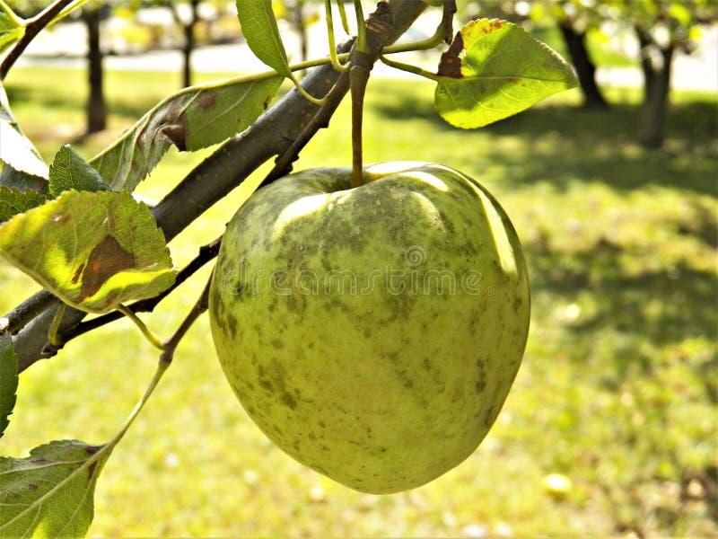 embranchez-vous avec des fruits photo stock