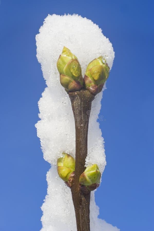 Embranchez-vous avec le bourgeon sous la neige et le ciel bleu photographie stock