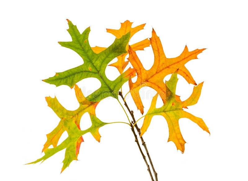 Embranchez-vous avec les feuilles jaunes et vertes de chêne d'isolement photo stock