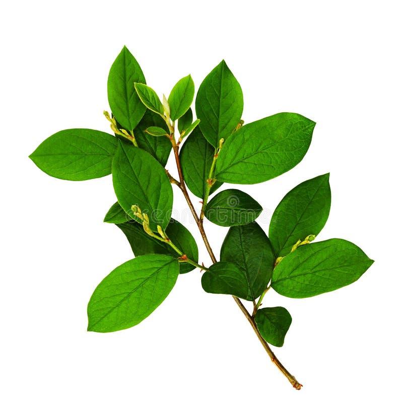 Embranchez-vous avec les lames vertes fraîches image stock
