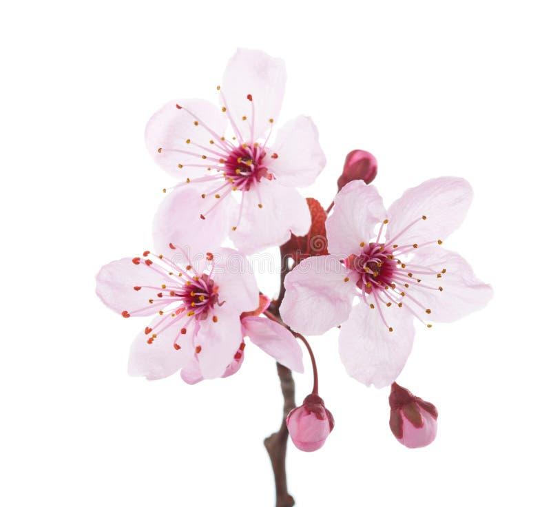 Embranchez-vous dans la prune de fleur d'isolement sur le fond blanc photos libres de droits