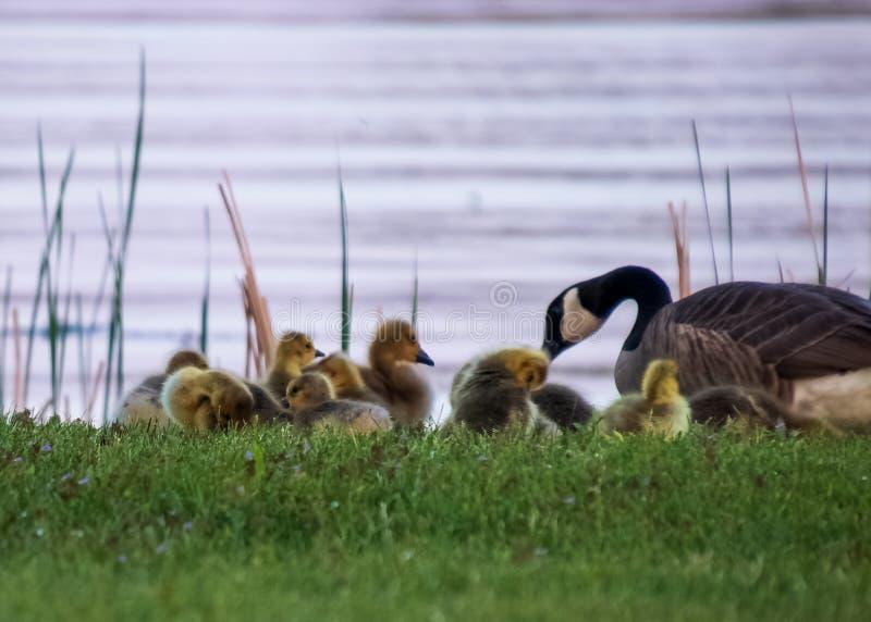 A embreagem de ganso do bebê com seu pai adulto está alimentando na grama na linha costeira do Chippewa Flowage no Northwoods fotografia de stock royalty free