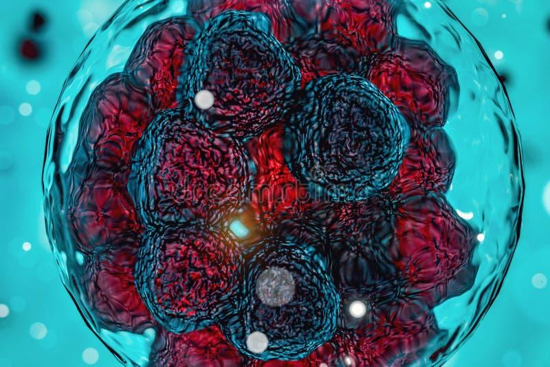 Embrión del primero tiempo, investigación de la célula madre, división de célula madre ilustración del vector